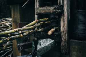 sugar canes being pressed in the machine